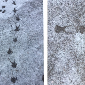 Ken såg dessa spår tidigt en morgon i mars/april 2017 på gatan i Västervik i Vasa. De andra spåren är efter hans hund, en veteterrier på 2 år. Vems spår kan det vara?
