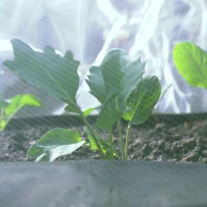 kålplantor täckta med fiberdul