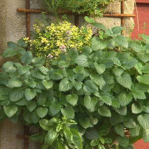 odling på vägg