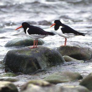 Kaksi meriharakkaa seisoo kivillä