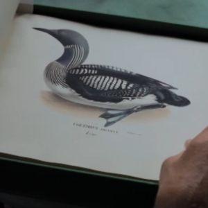 Närbild av sjöfågel i boken Svenska fåglar med teckningar av bröderna von Wright