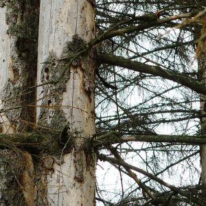 Granbarkborren har förstört barken på en gran, nästan kaläten