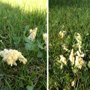 Små mannagrynsliknande samlingar på gräs