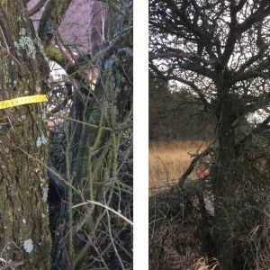 Två bilder på havtorn som vuxit till sig till ett träd med en stam vars omkrets är drygt 70 cm.