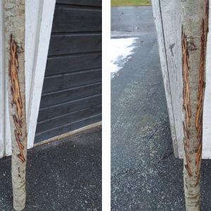 Trädstammar med skrapmärken