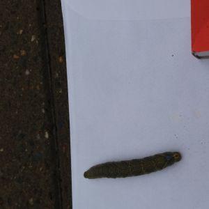 En mörkbrun larv bredvid en tändsticksask.