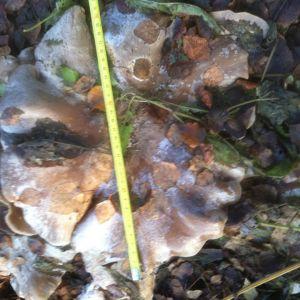 En svamp, 30 cm i diameter, i en komposthög.