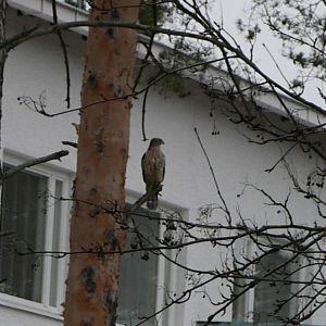 En rovfågel i en tall utanför ett höghus.