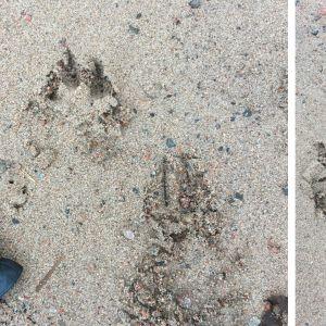 Djurspår i sanden med en svart läderhandske liggande bredvid.