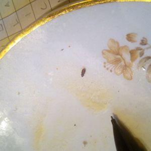 En liten insekt på en tallrikskant.
