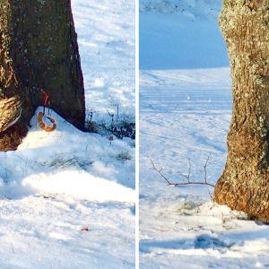 Två bilder på trädkrypare som klättrar på ett träd.