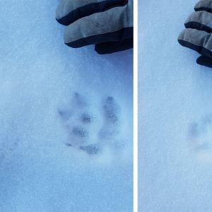 Två bilder på spår i snön, med en handske som jämförelse.