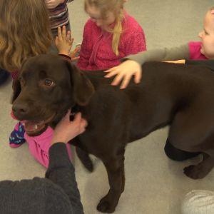 En brun labrador ser på en människa.