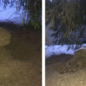 Två bilder på myrstack som grävts ut av något djur.