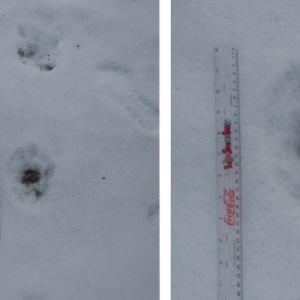 Två bilder på spår i snön efter större däggdjur.