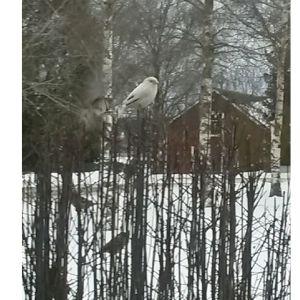 En vit fågel i en häck.