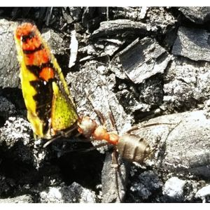 En myra som bär på ett byte.