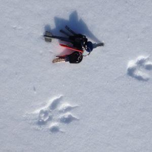 Spår av däggdjur i snön, med en nyckelknippa bredvid.