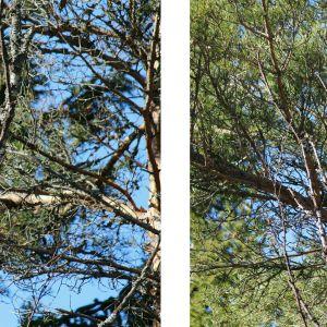 Två bilder på hackspett bland träd