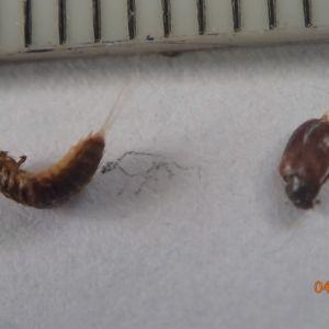 Två rödbruna skalbaggar