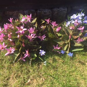 Blå och lila trädgårdsblommor.