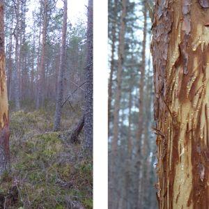Två bilder på tall som fått barken avskalad.