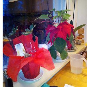 Två julblommor på fönsterbräda.