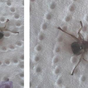 Två bilder på insekt sittandes på hushållspappersark.