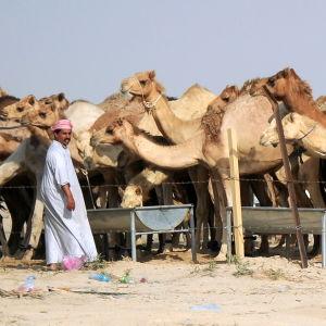 En man står framför flera kameler.
