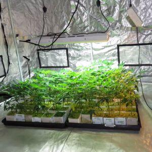 Polisen upptäckte cannabisodling i Kotka.