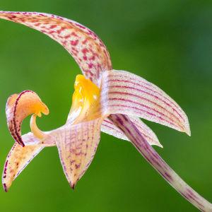 Charles Darwinin uhrasi yhden teoksistaan orkideoille.