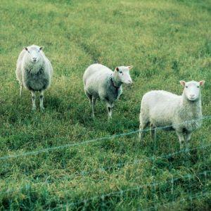 Fyra får står i en hage.