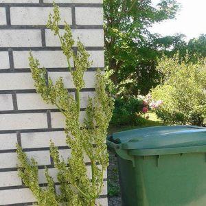 Marika Laaksonens rabarbern blommade förra sommaren och gjorde frön. Går det att få dem att försöka sig med frön, undrar hon?