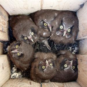 Helmipöllön poikasia pöntössä.