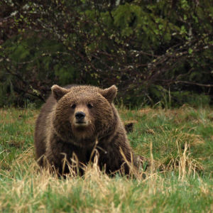 En björn