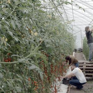 Filip, Linda och Jukka plockar tomater i växthuset.