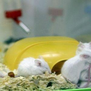 Möss i ett laboratorium