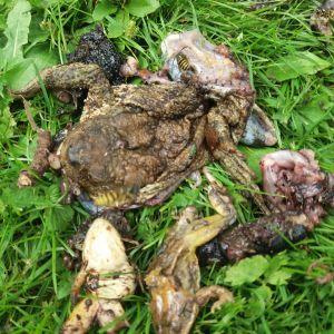 Maj Ginlund hittade en delvis uppäten stor padda som hade två grodor, en stor skogssnigel och en daggmask i magen. Vad allt äter paddan undrar hon och kan det vara mårdhunden eller grävlingen som är skyldig.