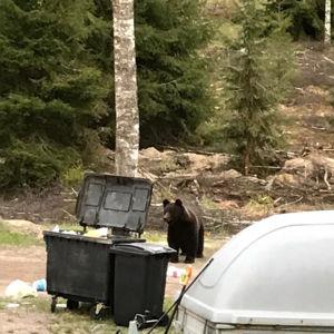 En björn syns stå bakom en soptunna. Till höger syns en täckt släpvagn.