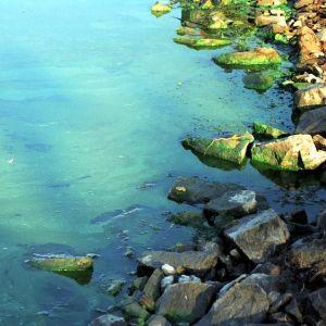 Blågröna alger