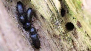 uhanalainen halavasepikkä-kovakuoriaisia