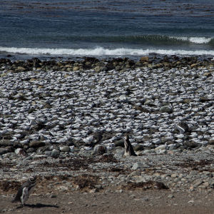 Magellanpingviner och måsar