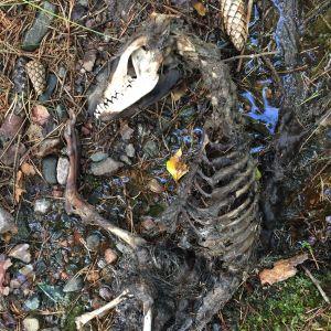 Mikael hittade detta skelett i en bäck i Ingå.  Käken och tänderna är väl bevarade. Är det kvarlevorna av en mårdhund undrar han.