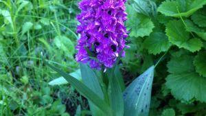 Orkidé i Raseborg