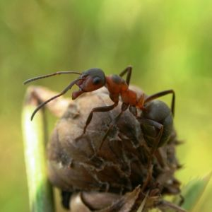Muurahainen kukan nupussa.