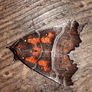 Ruben Berlin såg denna fjäril med mycket speciell beteckning på vingarna landa på bastuterassen i Lovisa skärgård. Vad är det för art?