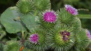 Kardborrens rötter innehåller mycket kolhydrater.