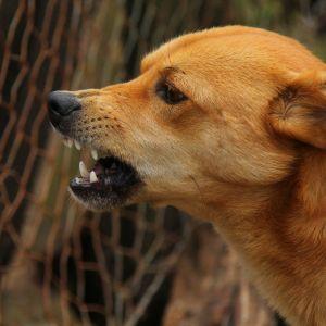 Hund som visar tänderna