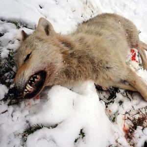 Död varg i snön.