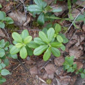 Maria Andersson har undrat i 40 år vad detta är för en underlig barrskogsväxt som ser ut som en korsning mellan lingonris och linea. Den har ljusröda klocklika blommor och blommar i början av augusti.